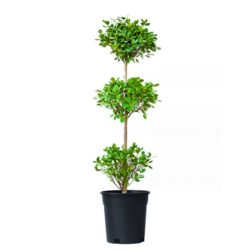 Ficus Three Steps