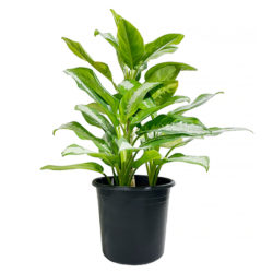 Green Aglaonema