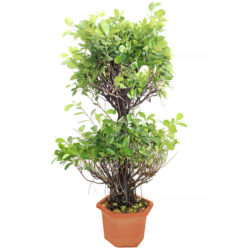 Ficus Two Steps
