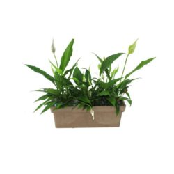 Spathiphyllum with NDF 50 pot