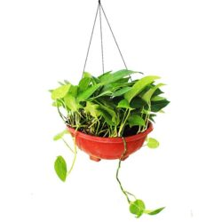 Money Plant Hanging (Big)