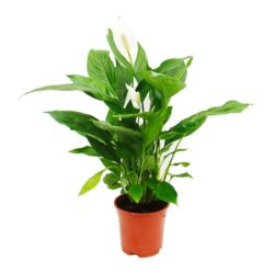 Peace lily 01