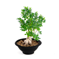 Ficus Hawaii Bonsai S2
