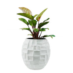 Philodendron in SRF 04 Pot