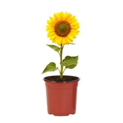 Sunflower (Outdoor)