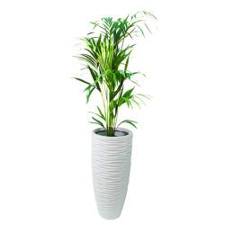 Kentia Palm in SRF 02 S1 Pot