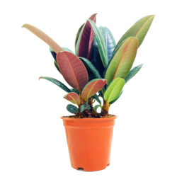 Rubber Plant Small
