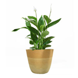 Buy online office plants
