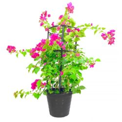 Bougainvillea Four Sticks