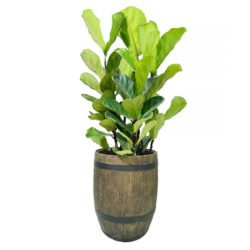 Fiddle Leaf  (Ficus Lyrata) in Pot 02