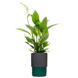 Peace lily in Pot X50AS