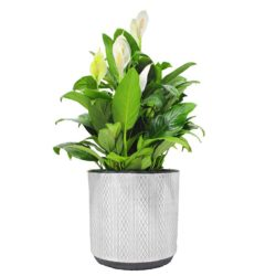 Peace lily  in Pot H114