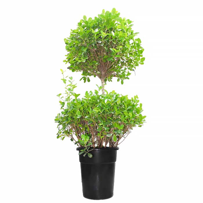 ficus two step_1