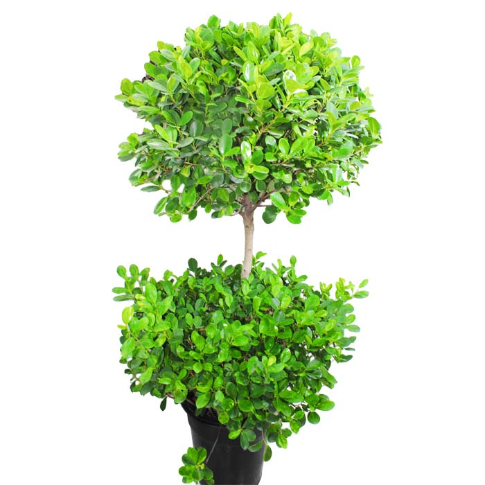 ficus two step_2
