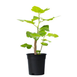 Fig (Small)