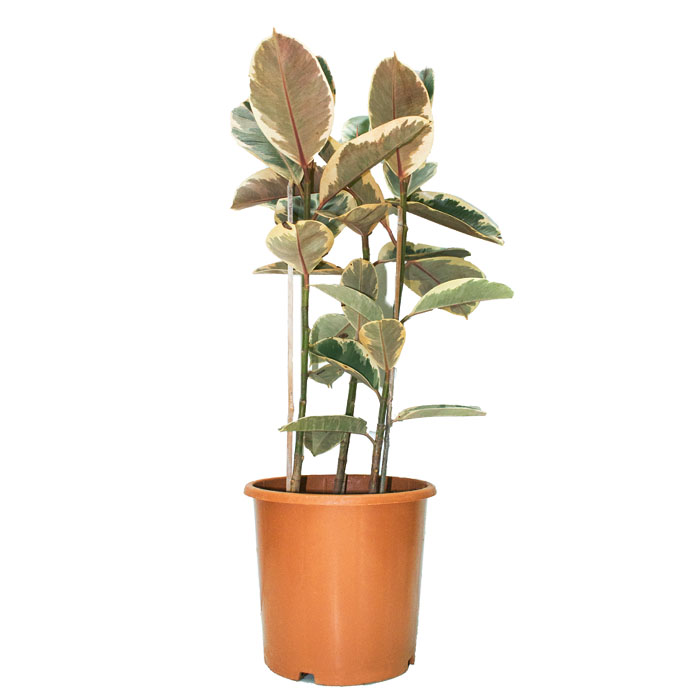 variegated rubber plant_1