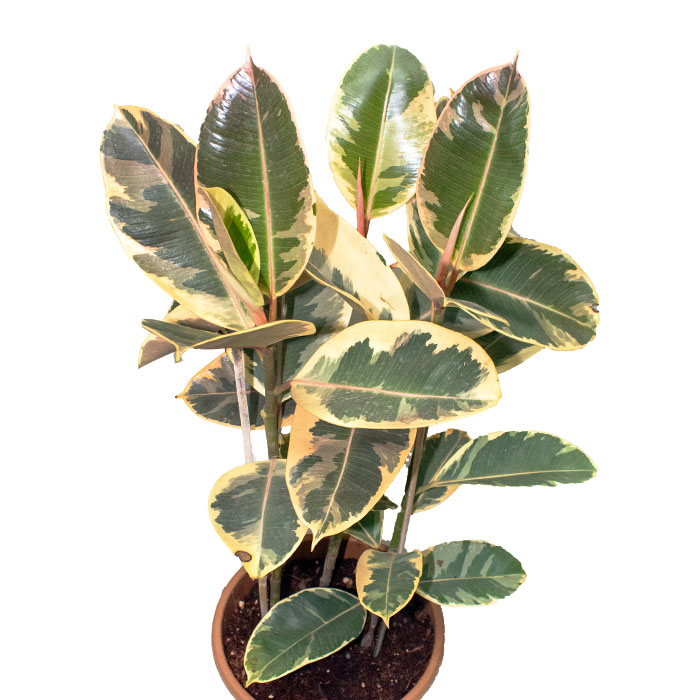 variegated rubber plant_2