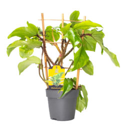 Philodendron Squamiferum with stokje