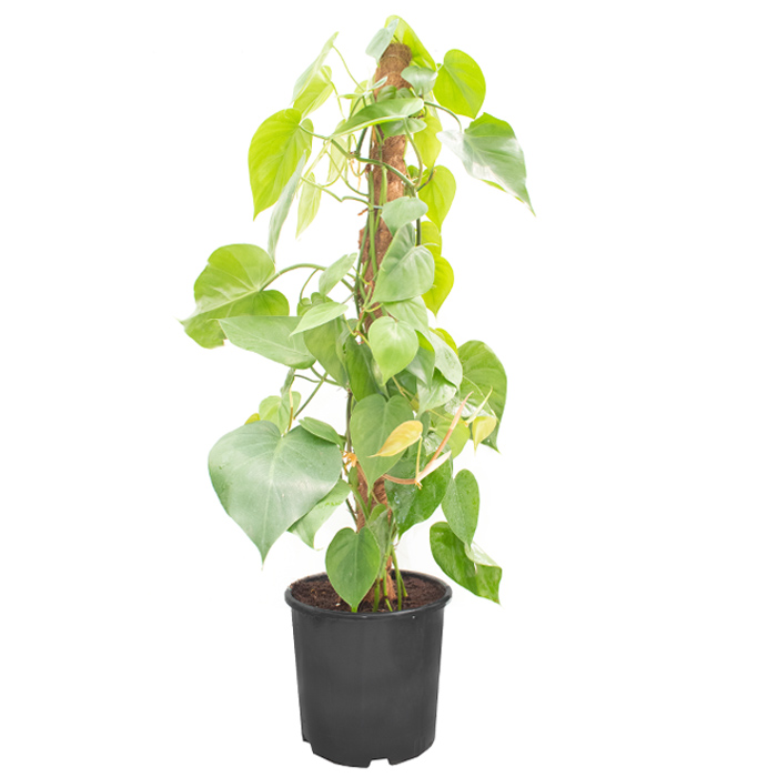 Philodendron Scandens_I