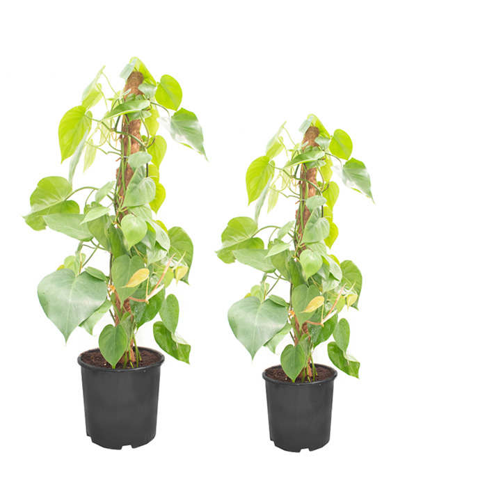 Philodendron Scandens_II