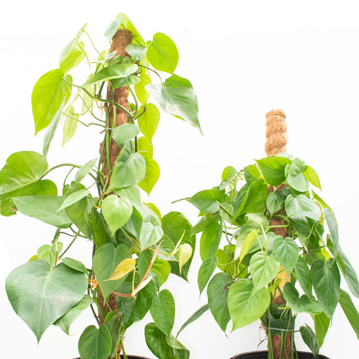 Philodendron Scandens_III