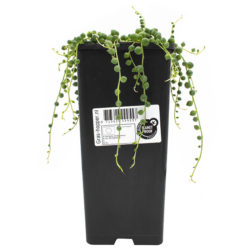String of Pearls (Senecio)