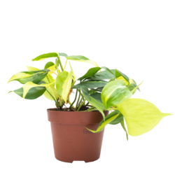 Philodendron Brasil Small