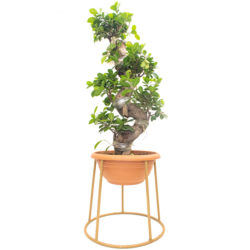 Bonsai S Shape Small (In Stand SPE)
