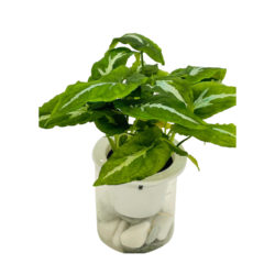 Syngonium Hybrid In Water Container