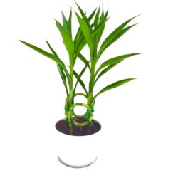 Lucky Bamboo Twisted in Ceramic Pot