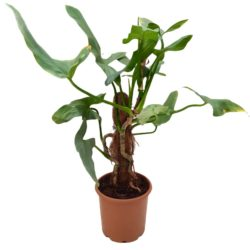 Philodendron Silver Queen In Mosstick
